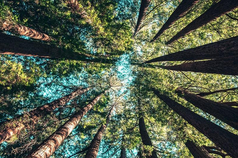 Blick hinauf in die Baumwipfel im dichten Wald.